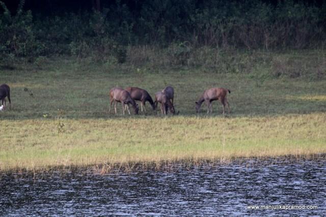 Animals, Deer, Sambha, Periyar