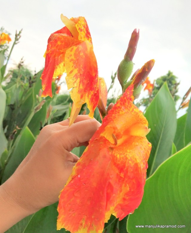 Canna flower cleans grey water