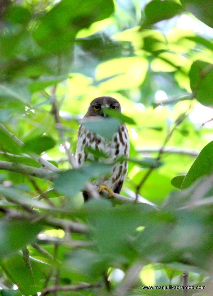 Owl, Tree, Birding