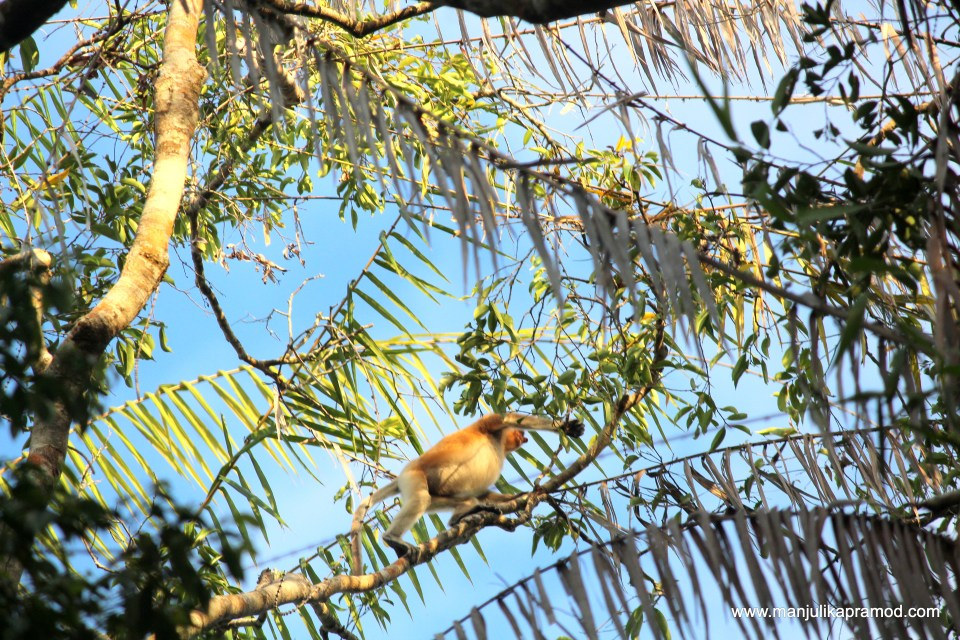 Proboscis monkey has a pot belly and a protruding nose.