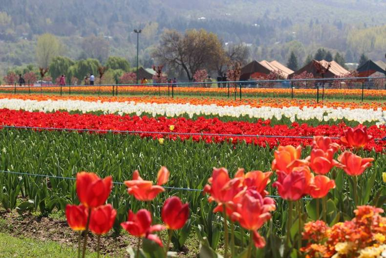 April should be your time to go for the Tulip festival in Kashmir