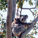 A local resident pleads for a better life for Koalas!