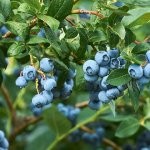 GROWING BLUEBERRIES ON THE MID NORTH COAST
