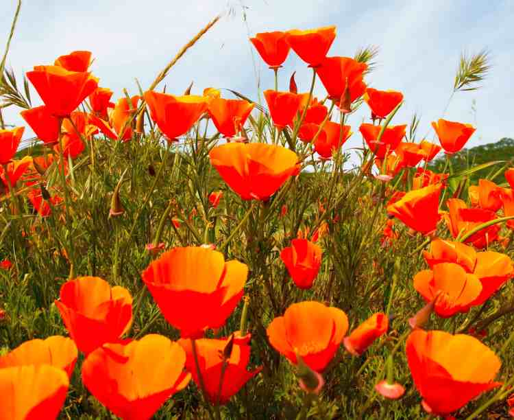 California poppy wildflowers