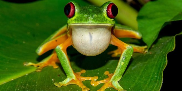 Red-eyed green tree frog