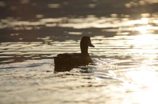 Ente im Sonnenlicht schwimmend
