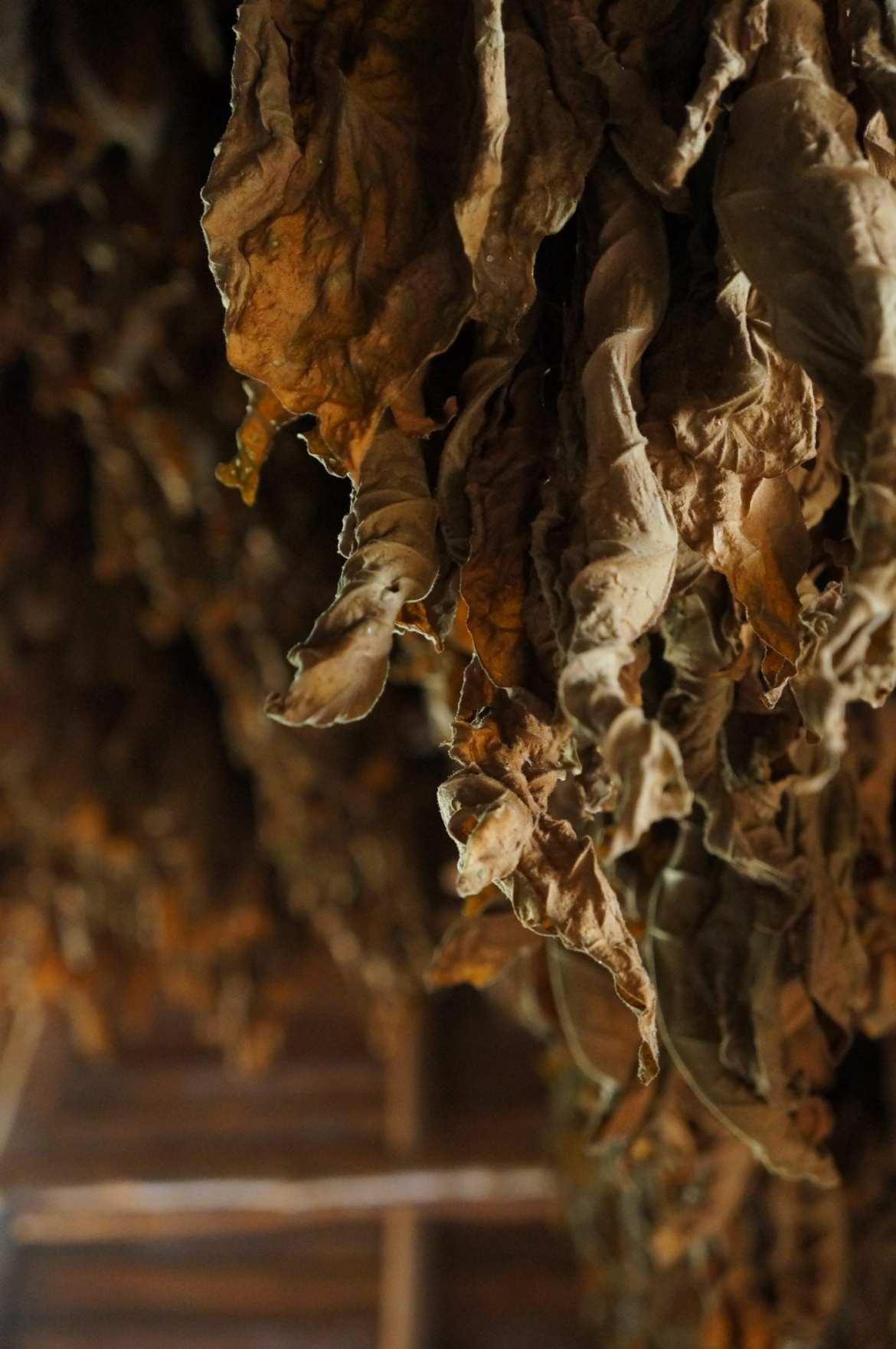 tobacco leaves drying in vinales, cuba