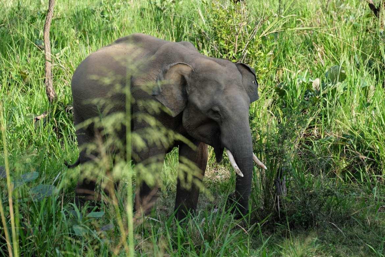 a small tusker wandering through minneriya national park