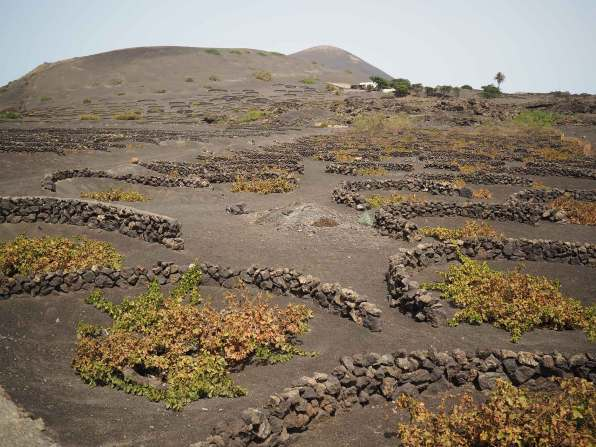 La Geria et ses vignes à perte de vue, sur les volcans de Lanzarote.