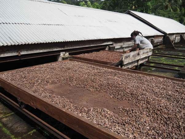 Séchage des fèves de cacao à la fabrique de Jouvay.