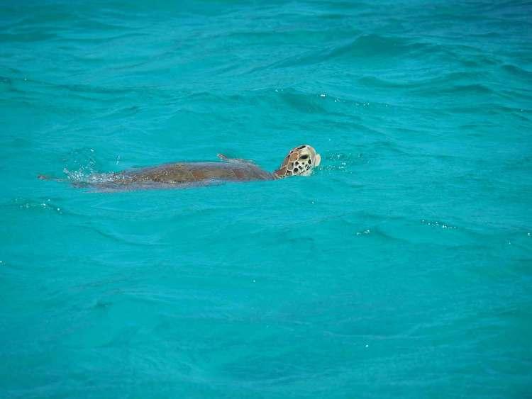 Tortue sortant de l'eau aux Tobago Cays.