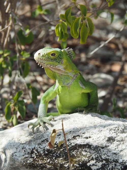 Jeune iguane vert de l'île de Petite Terre près de la Guadeloupe.