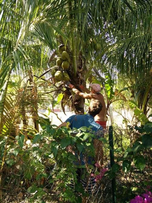 Cueillette des noix de coco dans le jardin de Pierre à Deshaies.