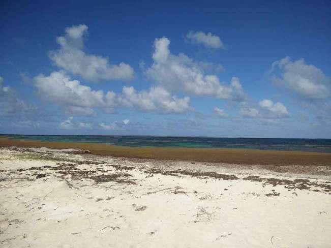 Sargasses à l'est de Cocoa Point à Barbuda, aux Antilles.