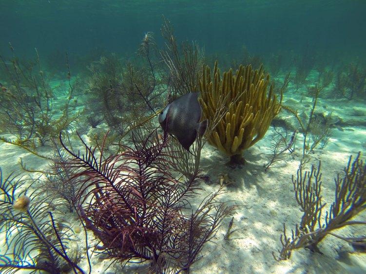 Ange gris aux Berry Islands, aux Bahamas.