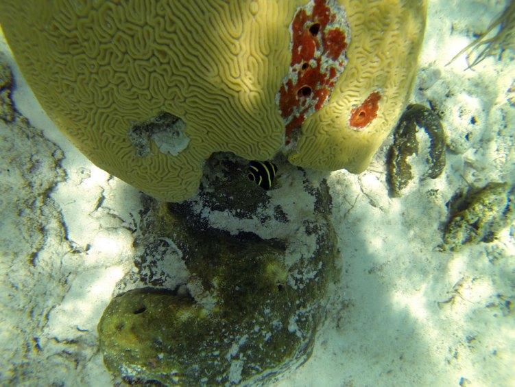 Bébé ange français sous l'eau aux Berry Islands, aux Bahamas.
