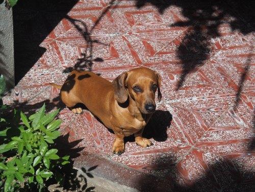 Le teckel foufou de chez Lolita, dans la posada où nous avons logé à Antigua.