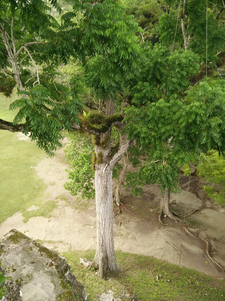 Arbre poussant au pied d'un temple de Tikal.