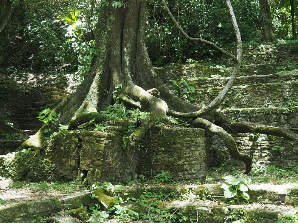 Arbre et racines sur les anciennes pierres mayas à Palenque.