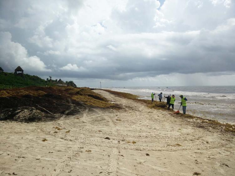 Plage remplie de sargasses sur la côte de Tulum, au Mexique.