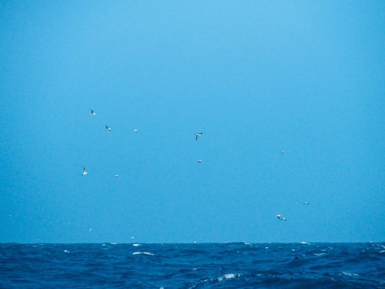 Oiseaux en pleine mer autour du bateau.