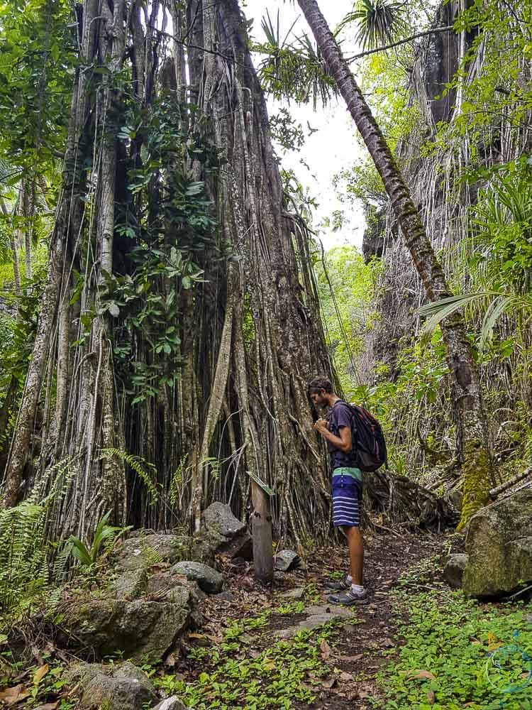 Au pied d'un banian dans la forêt humide de Ua Pou.