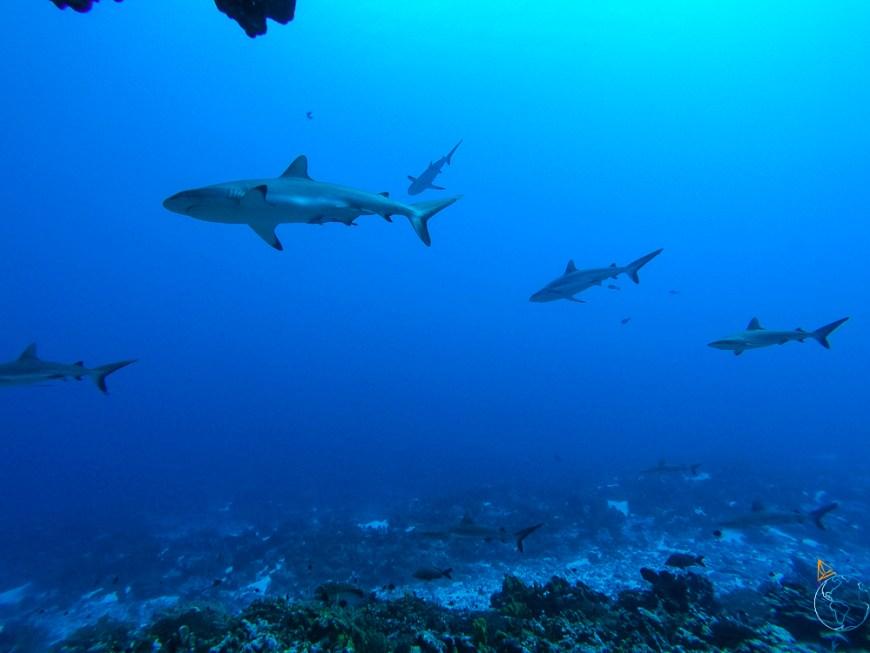 Requins gris nageant face au courant dans la passe réputée de Fakarava, à Tetamanu.