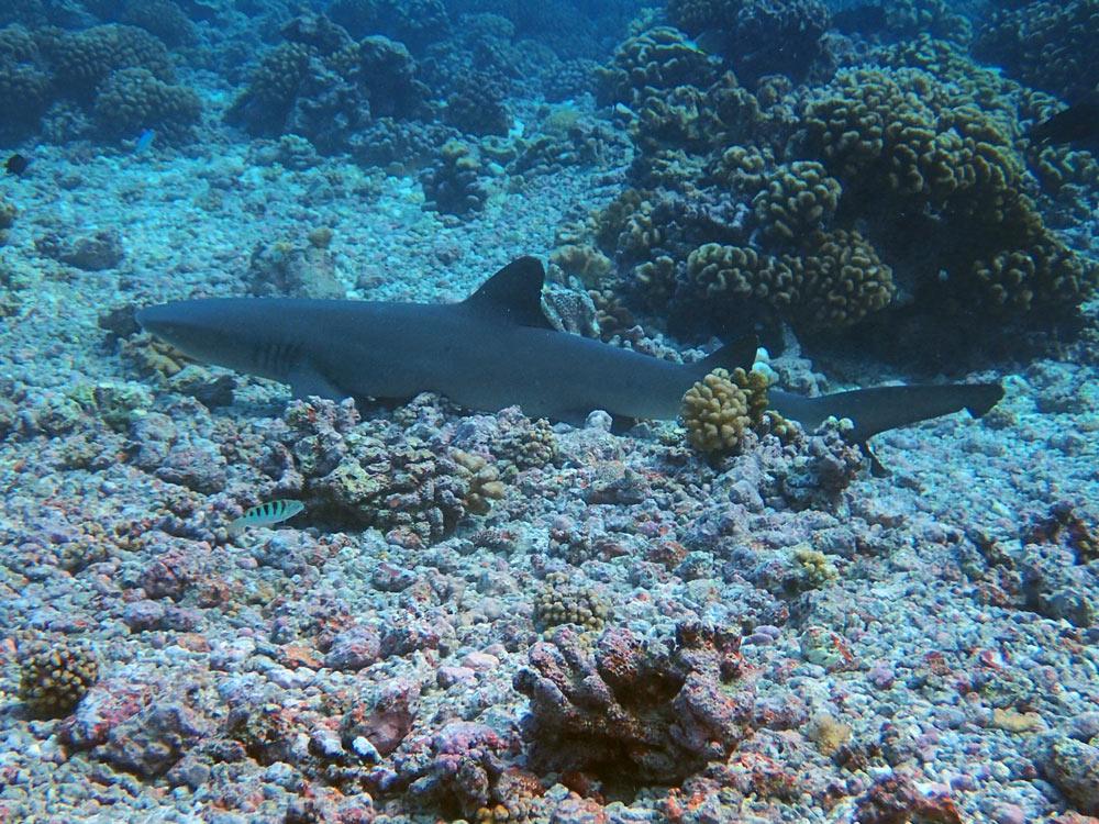 Requin gris qui dort sur le fond de la passe sud de Fakarava.