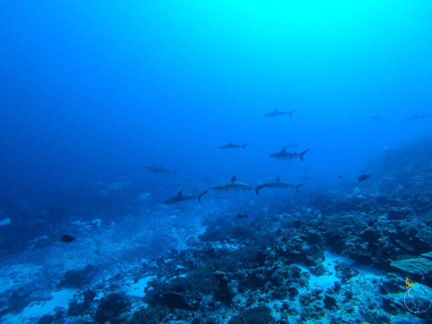Mur de requins dans le courant de la passe sud de l'atoll de Fakarava.