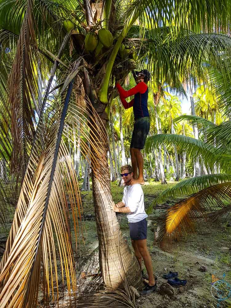 Tentative de cueillette de noix de coco sur Makemo aux Tuamotu.