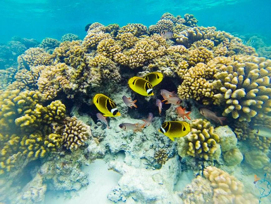Poissons papillons nageant autour du récif dans l'Anse Amyot.