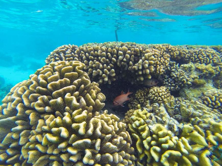 Rougets aperçus sous l'eau cristalline de Toau, atoll des Tuamotu.