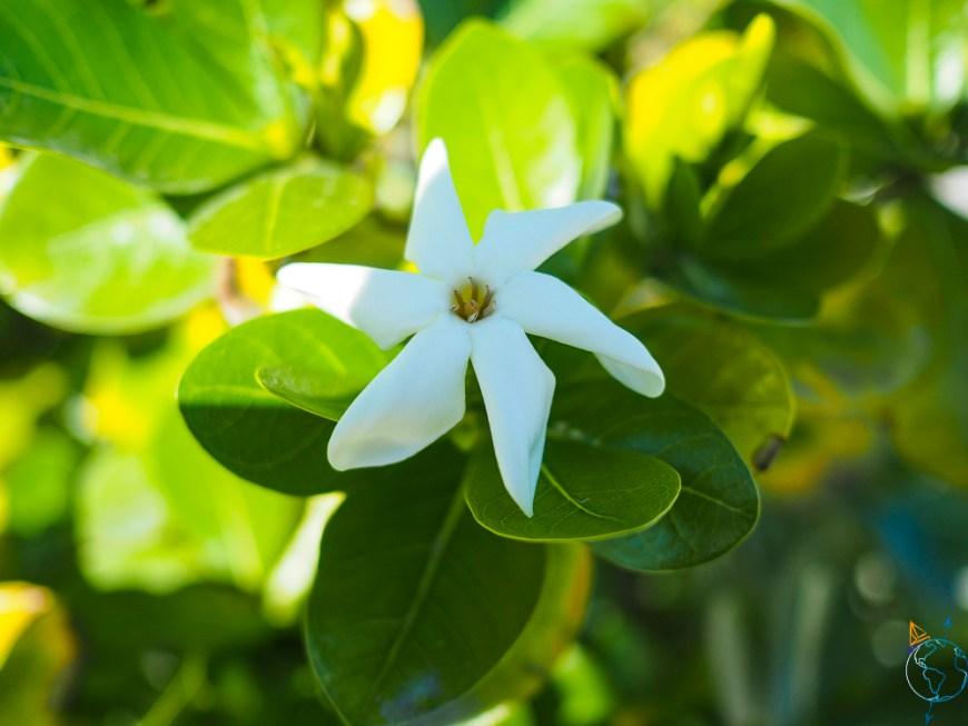 Fleur de tiare, l'emblème de Tahiti et de la Polynésie française.