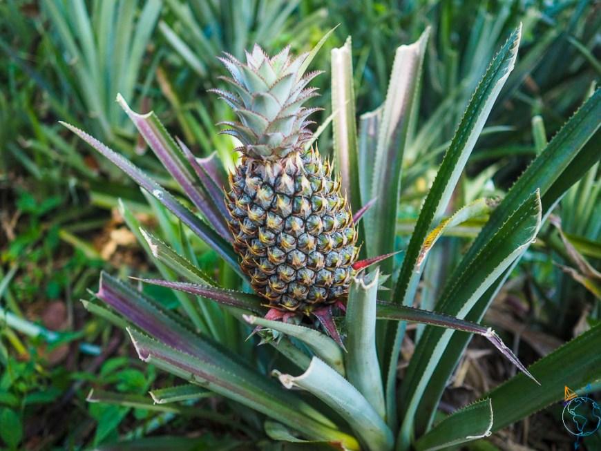 Un ananas de Moorea, poussant sur le relief de la vallée d'Opunohu.