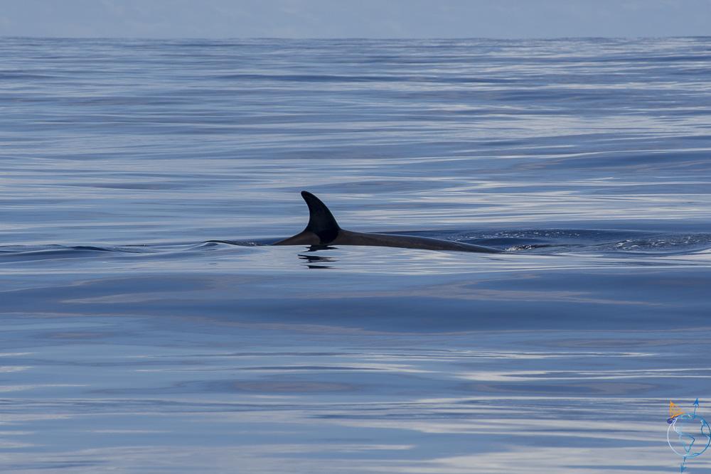 Rorqual commun dans l'océan, au nord de l'île de Moorea.