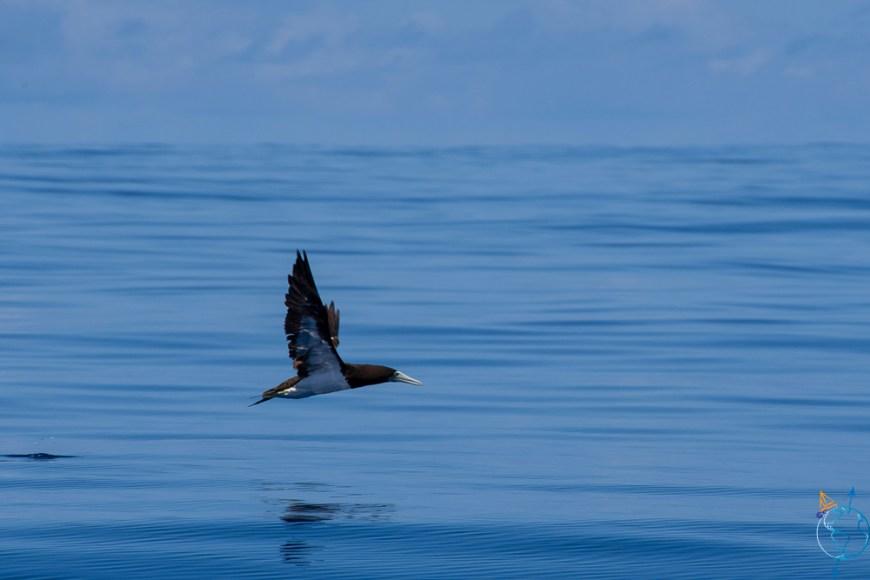 Fou brun volant à la surface de l'eau, au nord de Moorea.