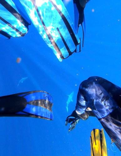 Requins gris en excursion baleines à bosse à Moorea.