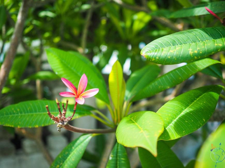 Fleur tropicale à Maupiti.