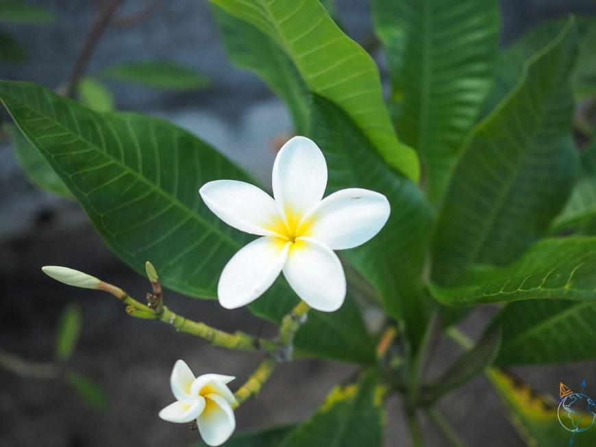 Jolie fleur polynésienne sur sa branche.