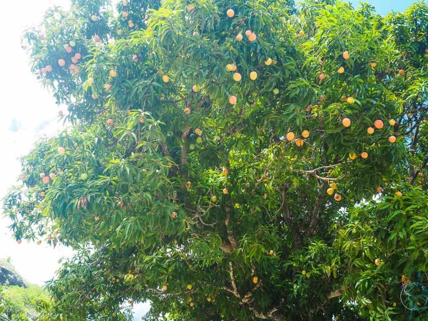 Manguier plein de fruits sur la route de Maupiti.