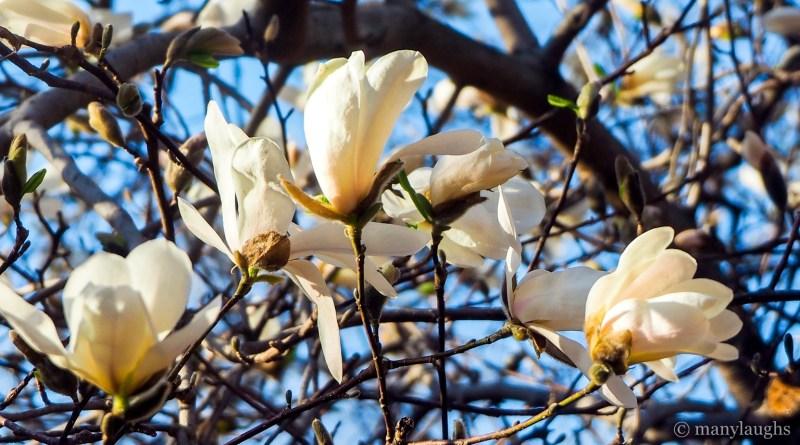 The arc of magnolias