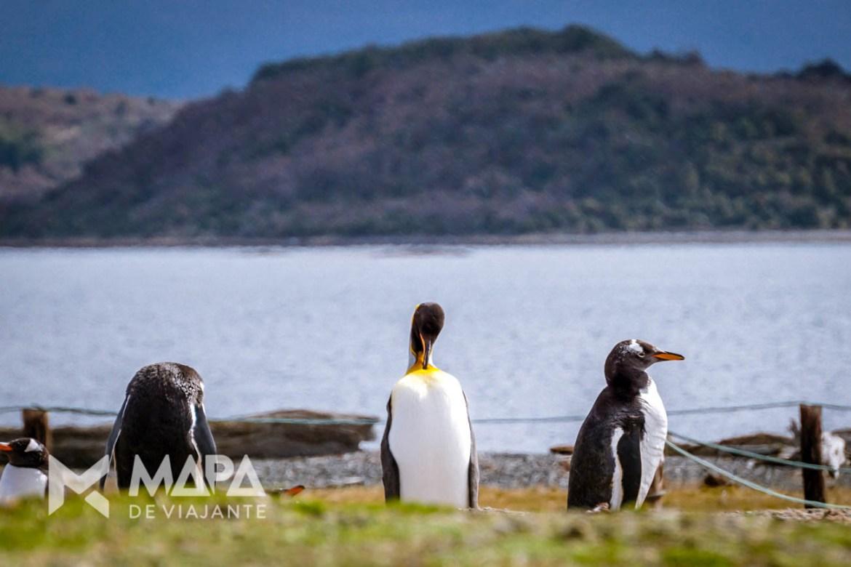 Um Pinguim Rei perdido no meio de pinguins Papua