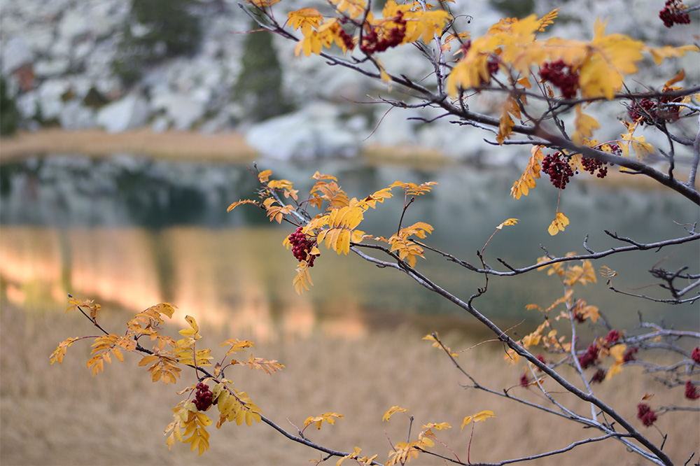 Photo of beautiful yellow autumn leaves and red berries on a tree in the Pyrenees.