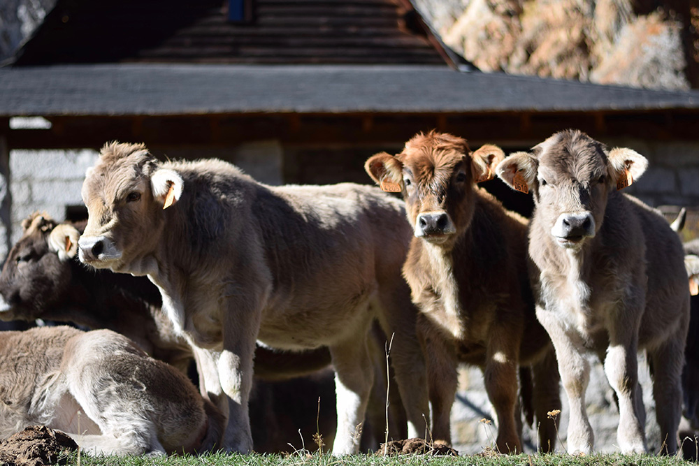 Photo of 5 cows in front of an old stone house in the Spanish Pyrenees near Espot, Spain.