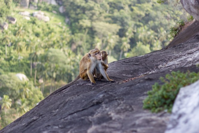 Monkeys at Mulkirigala Rock Temple