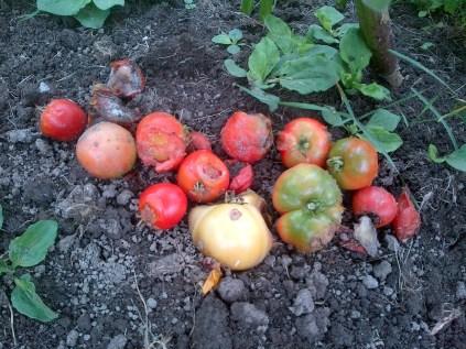 Stupice Tomato Damage
