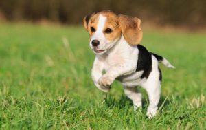 Beagle Size