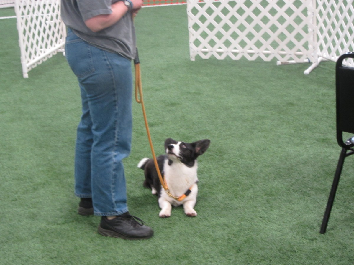 black and white corgi lying down in an orange leash looks up at a woman in blue jeans