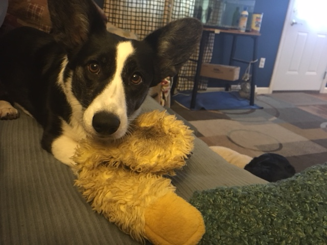 black and white corgi with a yellow toy