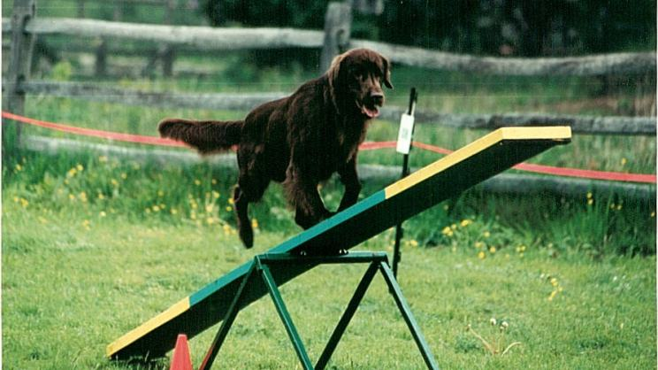 brown retriever on a green and yellow teeter totter